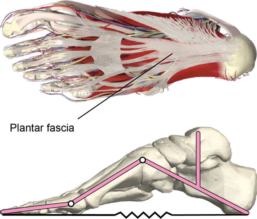 Anatomical image showing the plantar fascia and its analogy to a spring.