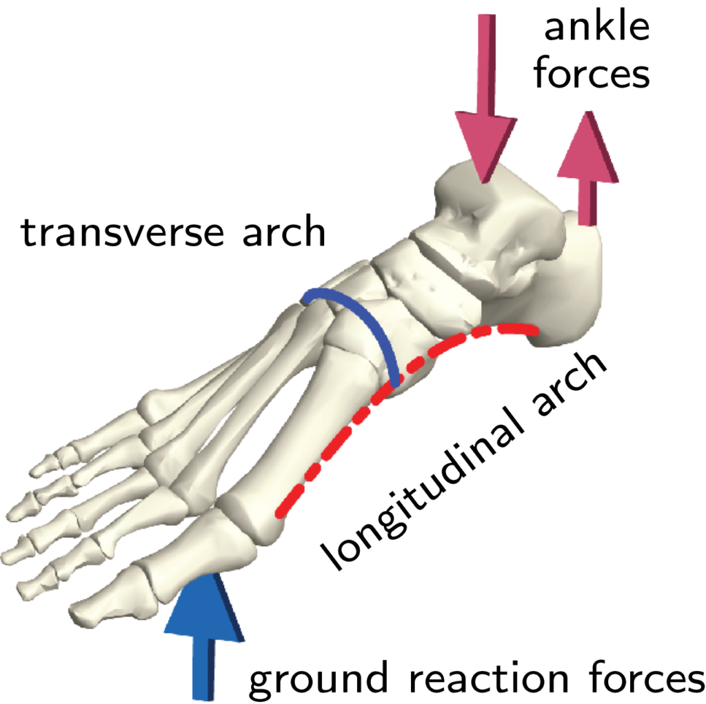 Image of the foot showing the two arches and the forces acting from the ground and the ankle.